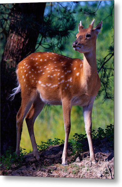 Deer In The Woods Metal Print