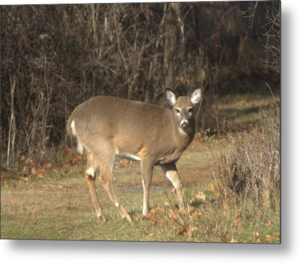 Deer Pose Metal Print by Edward Kocienski