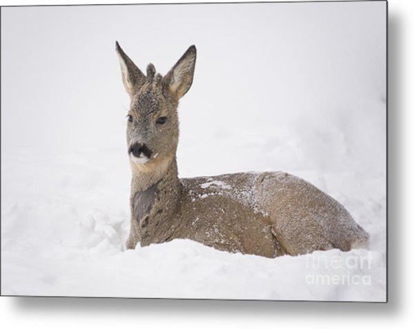 Deer Resting In Snow Metal Print