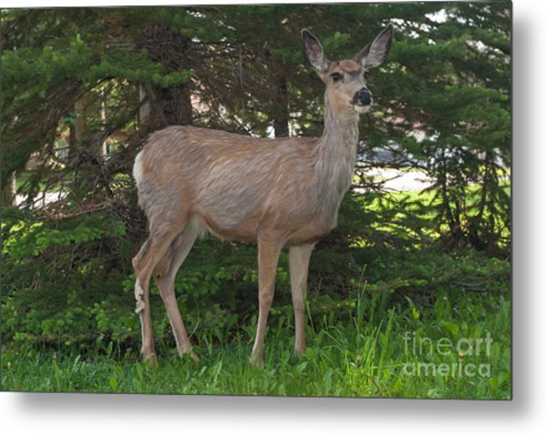Deer Tourist... Metal Print