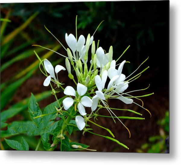 Delicate White Beauty  Metal Print by Judith Russell-Tooth