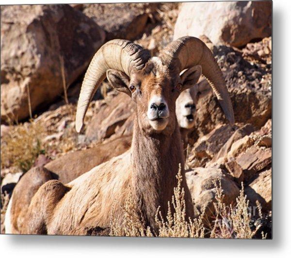 Desert Bighorn Sheep Metal Print