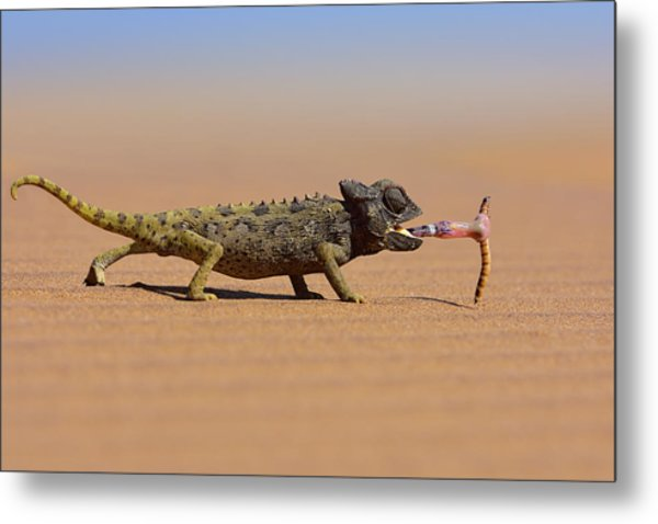 Desert Chameleon Catching A Worm Metal Print by Freder