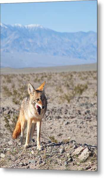 Desert Coyote Metal Print