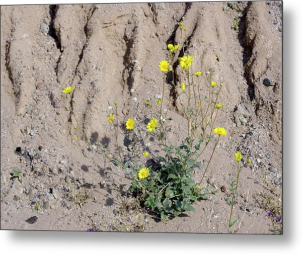 Desert Sunflower (geraea Canescens) Metal Print