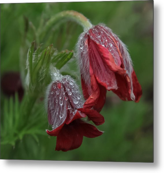 Dew Covered Pasque Flower Metal Print