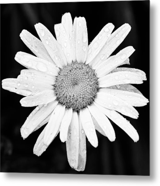 Dew Drop Daisy Metal Print