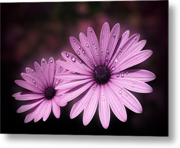Dew Drops On Daisies Metal Print