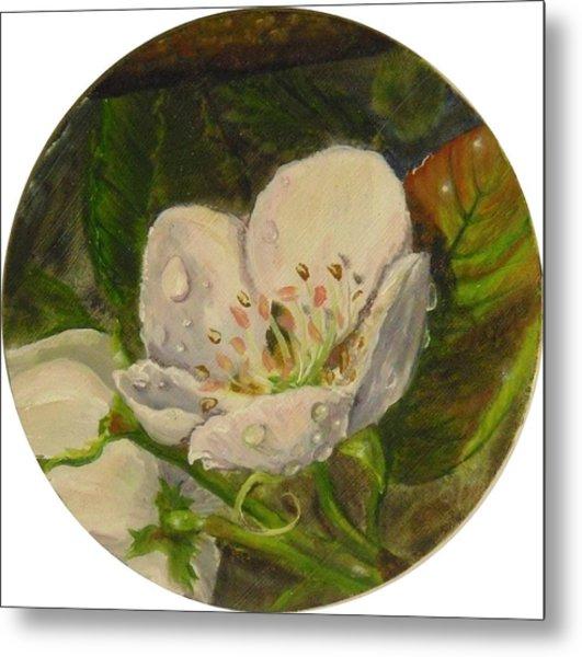 Dew Of Pear's Blooms Metal Print