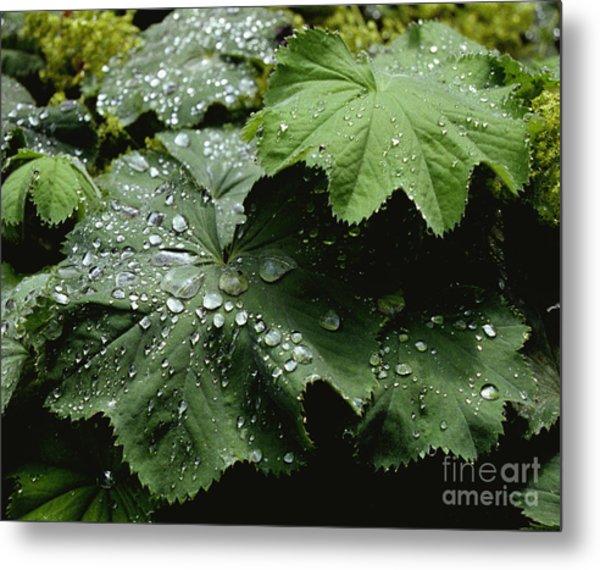 Dew On Leaves 2 Metal Print