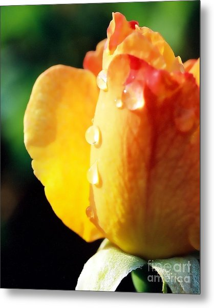 Dew On Rose Metal Print