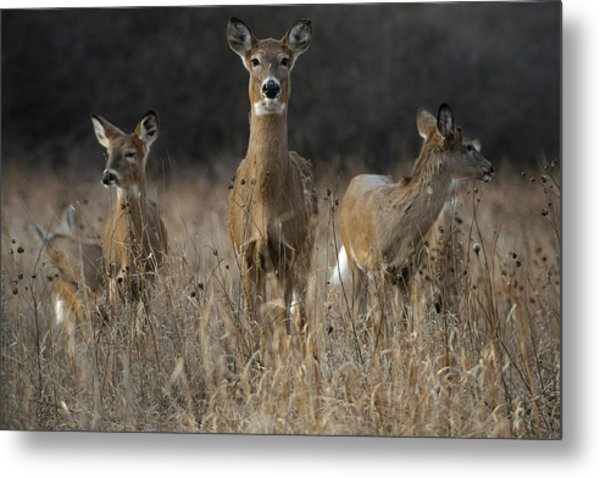 Doe And Yearlings Metal Print