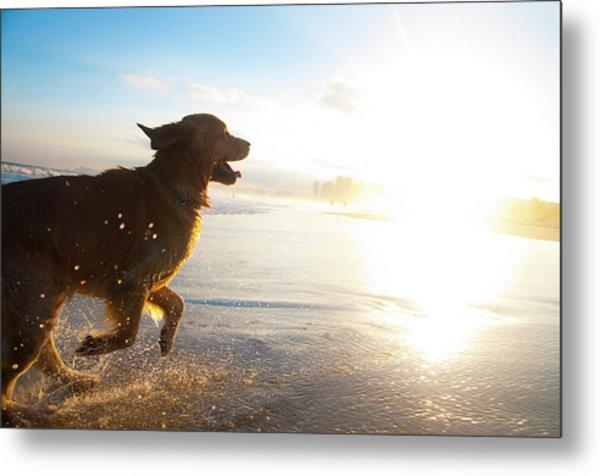Dog Running On The Beach Metal Print by Giovani Cordioli
