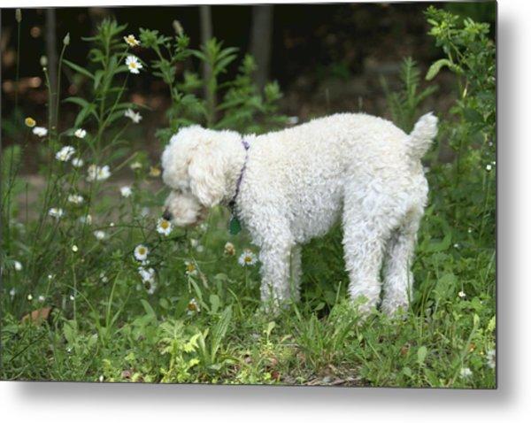 Dog Smelling Daisies Metal Print by Carolyn Reinhart