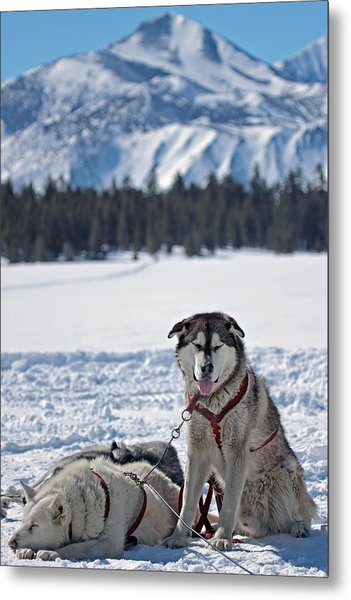 Dog Team Metal Print