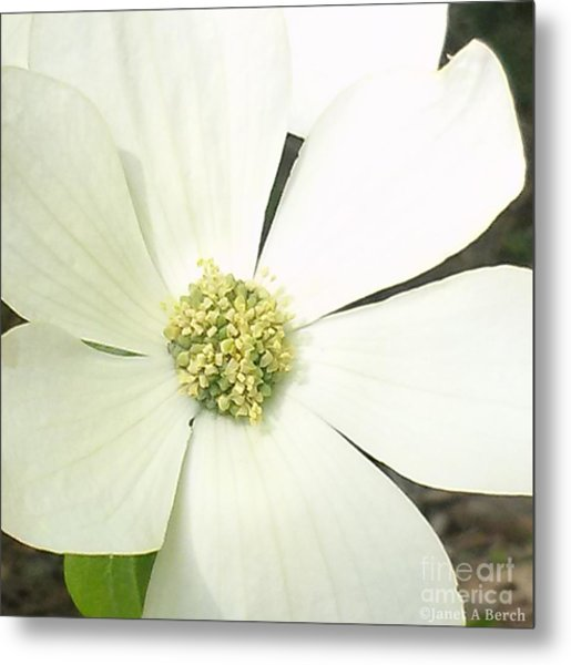 Dogwood 1 Metal Print by Janet Berch