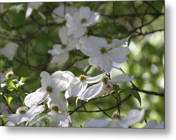 Dogwood Blossoms 3 Metal Print