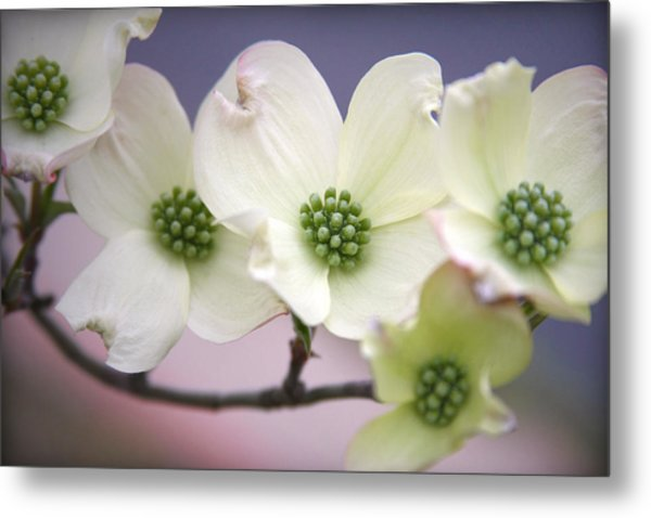 Dogwood Metal Print by CarolLMiller Photography