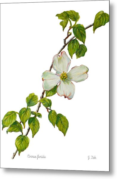 Dogwood - Cornus Florida Metal Print