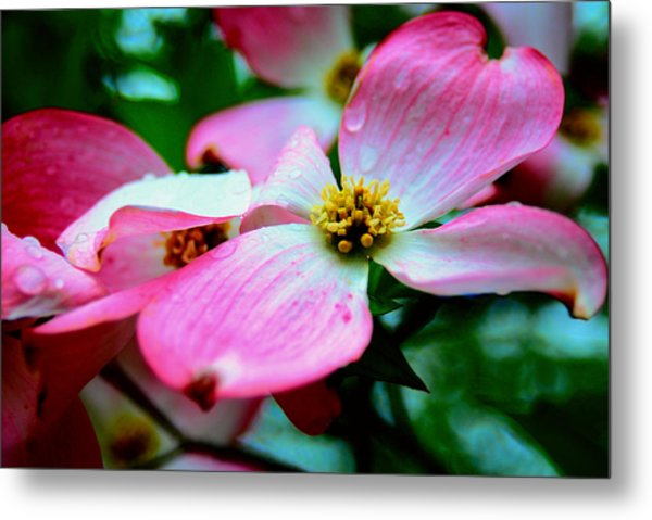 Dogwood Dew Metal Print