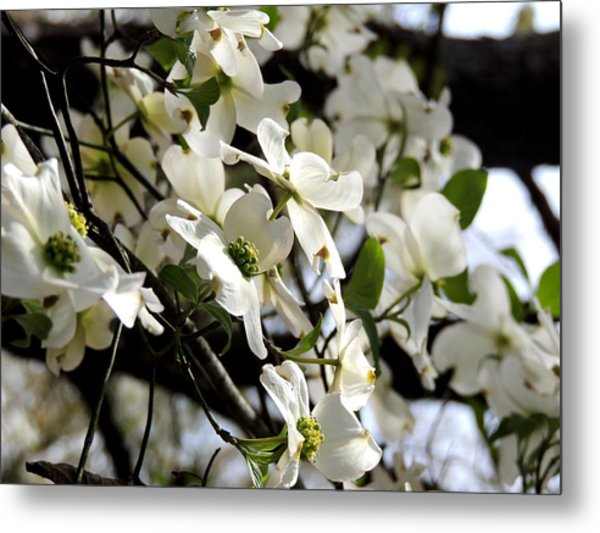 Dogwoods In The Spring Metal Print