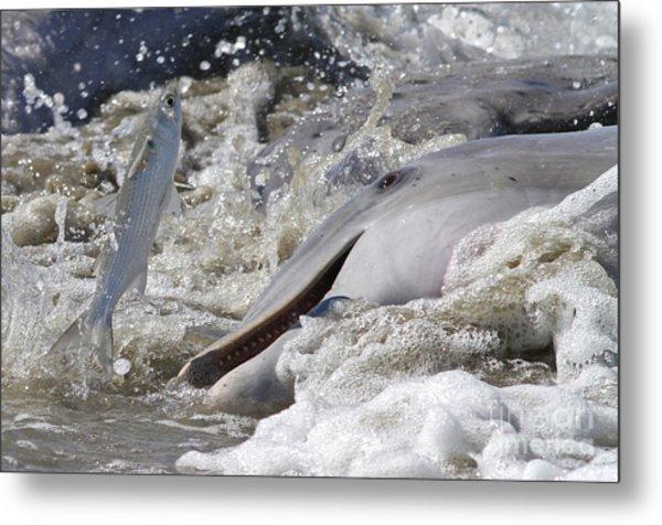 Dolphin Strand Feeding 2 Metal Print