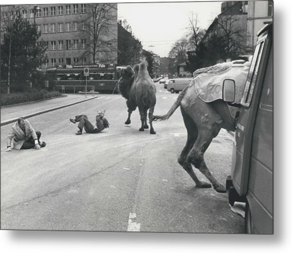 Don�t Move To New Address By Camels! Metal Print by Retro Images Archive