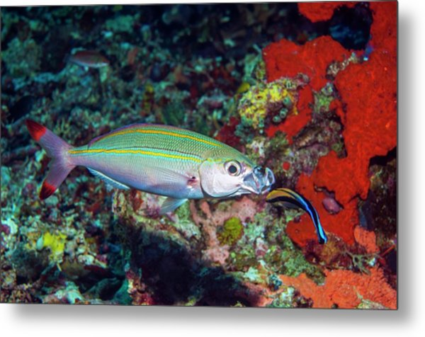 Double-lined Fusilier With Cleaner Wrasse Metal Print by Georgette Douwma/science Photo Library