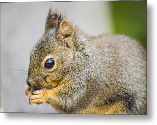 Douglas Squirrel  Metal Print
