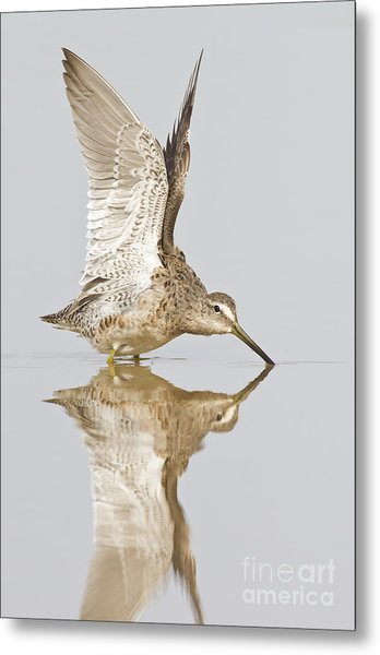 Dowitcher Wing Stretch Metal Print