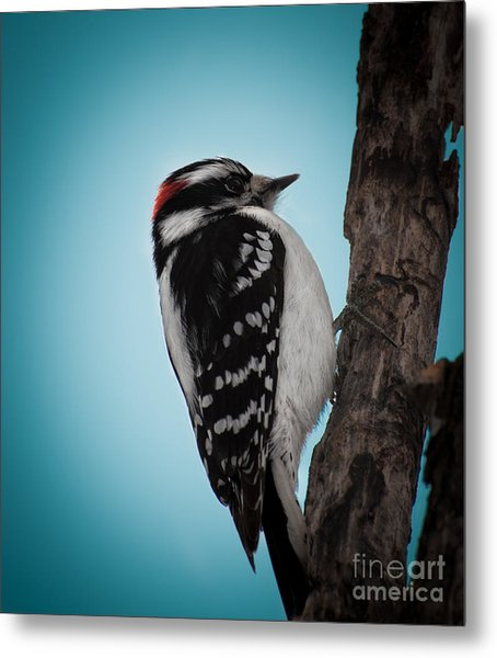 Downy Metal Print