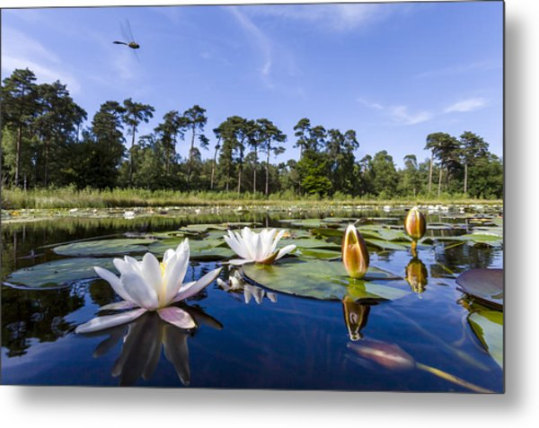 Downy Emerald Dragonfly Flying Over Lake Metal Print