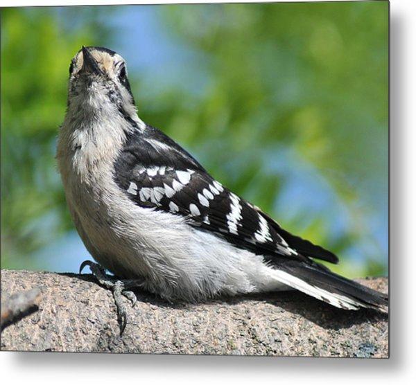 Downy Woodpecker 302 Metal Print