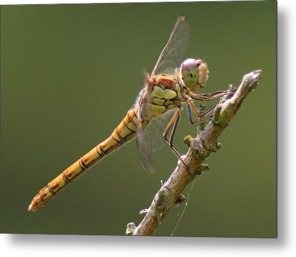 Dragonfly At Rest Metal Print