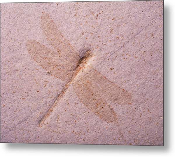 Dragonfly Fossil Metal Print by Martin Land/science Photo Library