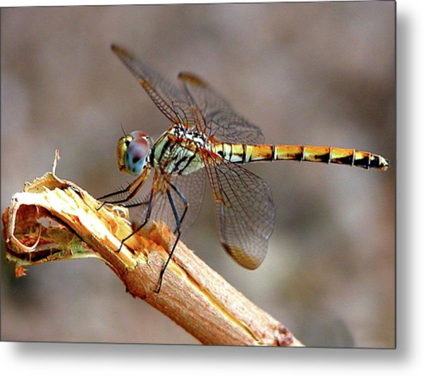 Dragonfly Metal Print by Graham Taylor