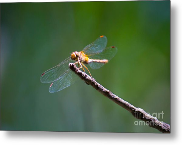 Dragonfly In The Sun Metal Print
