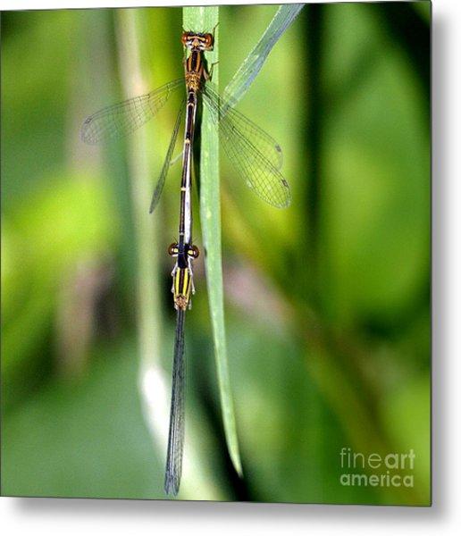 Dragonfly Landing Metal Print