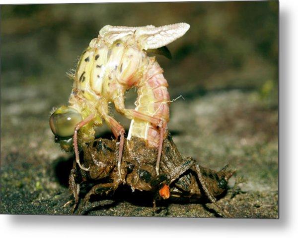 Dragonfly Metamorphosis Metal Print