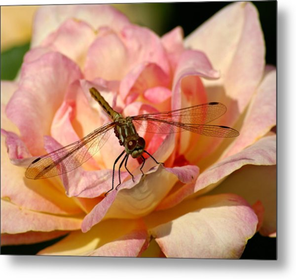 Dragonfly On A Rose Metal Print