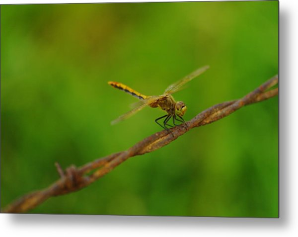 Dragonfly On Barbed Wire Metal Print