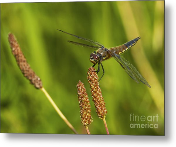 Dragonfly On Seed Pod 2 Metal Print by Sharon Talson