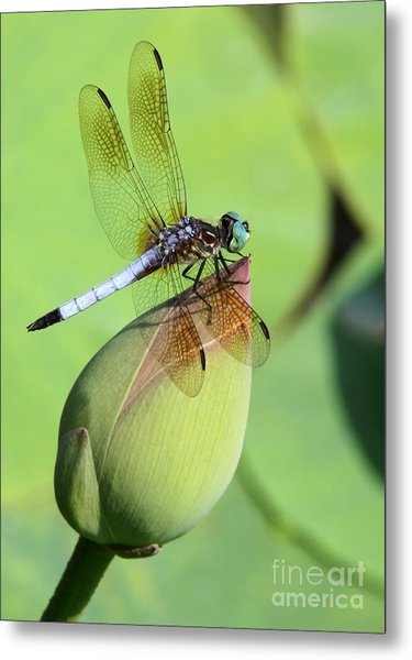 Dramatic Dragonfly Metal Print
