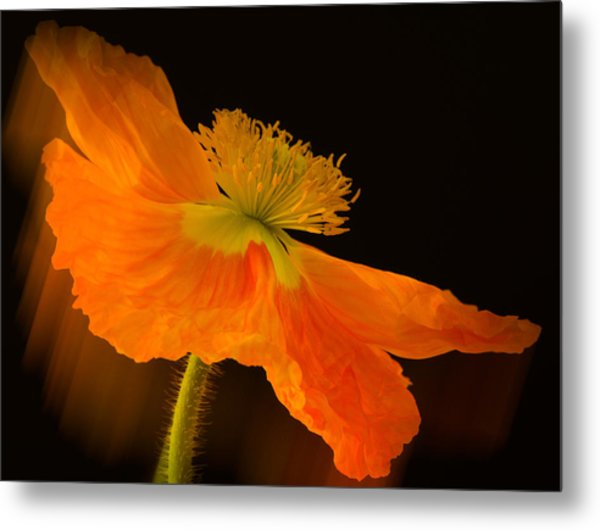Dramatic Orange Poppy Metal Print