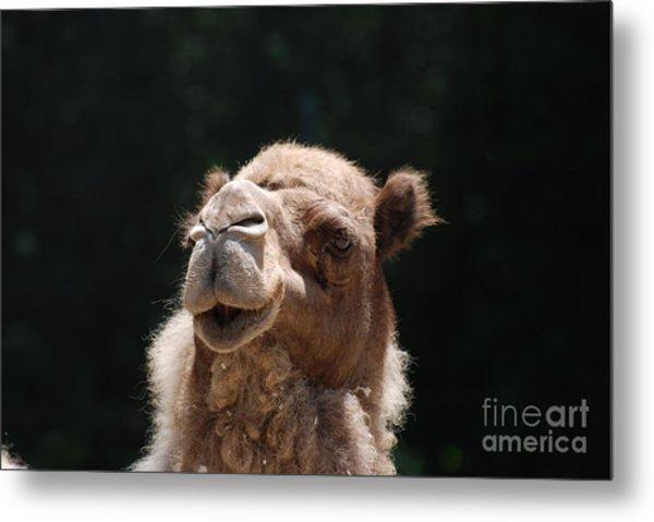 Dromedary Camel Face Metal Print