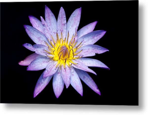 Droplets On A Water Lily. Metal Print
