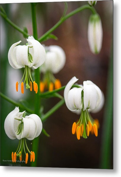 Drops Of Spring Metal Print by Ross Henton