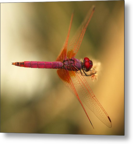 Dropwing Dragonfly Metal Print