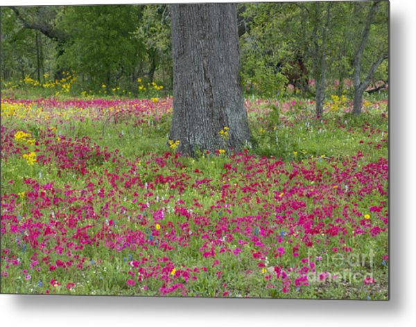 Drummonds Phlox And Crown Tickweed Central Texas Metal Print