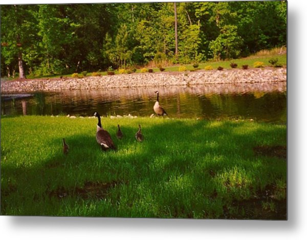 Duck Family Getting Back From Pond Metal Print
